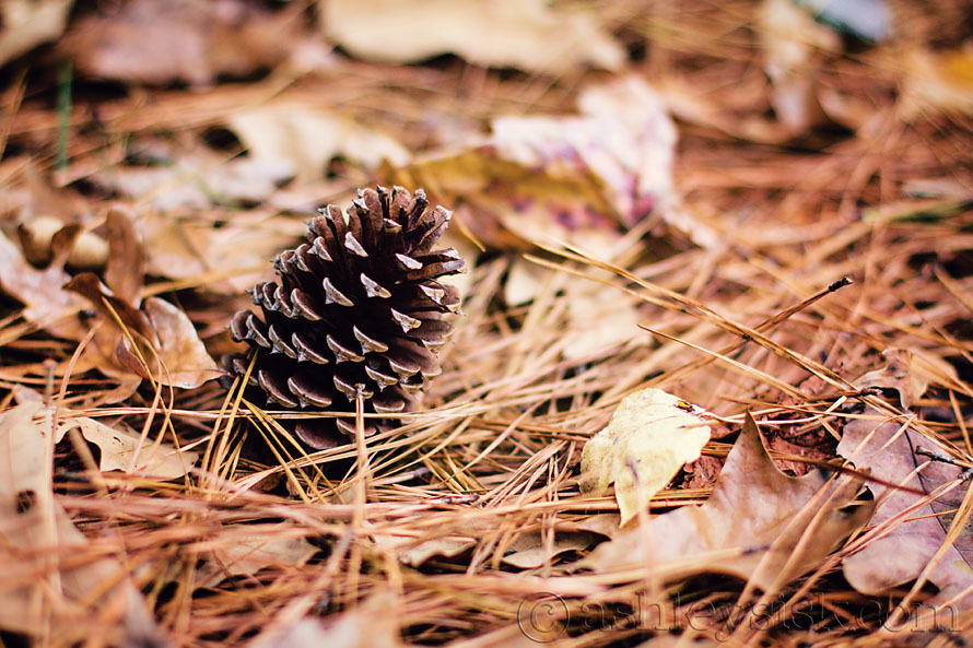 Pine Cone RS