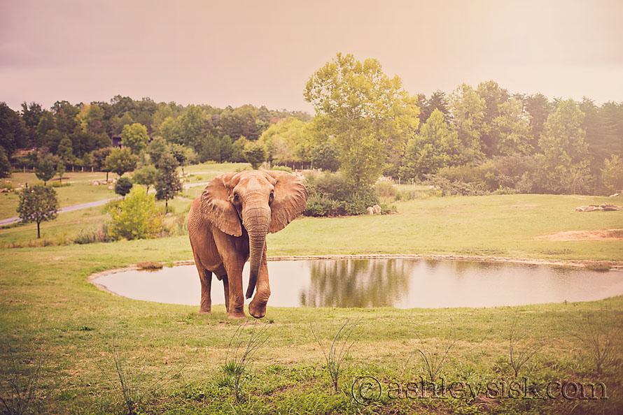 Elephant RS